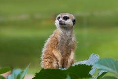 Portret Meerkat Suricata suricatta, Afryka?ski rodzimy zwierz? obrazy stock