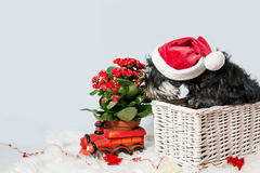 Portret miniaturowy schnauzer w Santa pomagiera kostiumu zdjęcia stock