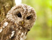 Portret młody Strix aluco - Tawny sowa Zdjęcie Stock