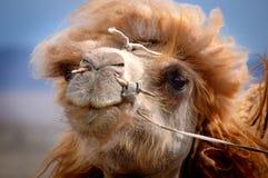 Portret Mongolski wielbłąd Fotografia Royalty Free