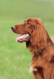 Portret mooie hond, verticaal, in openlucht Royalty-vrije Stock Foto