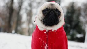Portret mopsa pies w Święty Mikołaj kostiumu Śmieszny pies w kapiszonów spojrzeniach w kamerze boże narodzenie nowy rok szczęśliw zbiory wideo