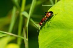 Portret mrówka (bez skrzydeł) Obrazy Royalty Free