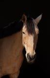 Portret napastującego koń Zdjęcia Stock