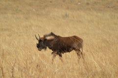 Portret nazwani gnu wildebeest, także, jest antylopami w genus Connochaetes zdjęcia royalty free