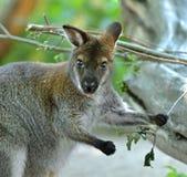 Portret Necked wallaby lub Bennett ` s wallaby Macropus rufogriseus fotografia stock