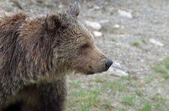 Portret niedźwiedź, Kanada zdjęcia stock