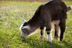 Portret nieletnia kózka na trawy tle zdjęcie stock