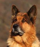 portret niemiecka baca Fotografia Stock