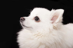 Portret Niemiecki Spitz biel w profilu na czarnym backgroun Fotografia Royalty Free