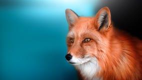 Portret niepłochliwy Fox miejsce dla etykietki zdjęcie stock