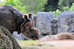 portret nosorożec Fotografia Royalty Free