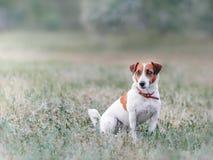 Portret od daleko śliczny mały psi dźwigarki Russel teriera obsiadanie na haliźnie na trawie i patrzeć lewą stronę przy summe bia fotografia royalty free