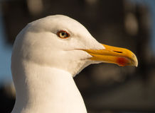 Portret od seagull. Seagull on the shore. Clear and focus on his amazing eye royalty free stock image
