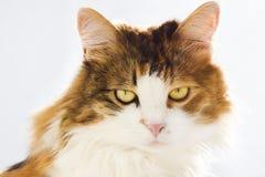 Portret odizolowywający na białym tle kota zakończenie Gniewny kot fotografia stock