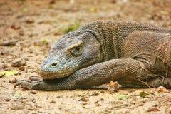 Portret odpoczywa na Rinca wyspie w Komodo Nati Komodo smok Obrazy Royalty Free