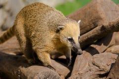 Portret ogoniasty coati (Nasua nasua) fotografia royalty free