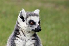 Portret Ogoniasty lemur Zdjęcie Royalty Free