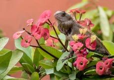 Portret ogrodowa jaszczurka fotografia stock