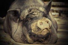 Portret ogromna świnia Fotografia Royalty Free
