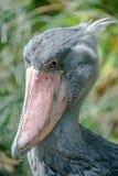 Portret ogromny i piękny Afrykański shoebill bocian Fotografia Stock