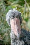 Portret ogromny i piękny Afrykański shoebill bocian Obraz Royalty Free