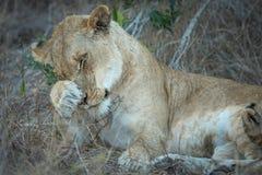 Portret ono czyści dorosła lwica obraz royalty free