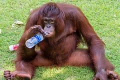Portret orangutan zdjęcia stock