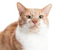 Portret Oranje Cat Funny Face Royalty-vrije Stock Afbeelding