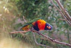Portret papuga Fotografia Royalty Free