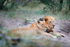 Portret para Afrykańscy lwy, Panthera Leo, szczegół duzi zwierzęta z wieczór słońcem, Chobe park narodowy, Botswana, Afryka Ca Fotografia Stock