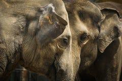 Portret para słoń Zdjęcia Royalty Free