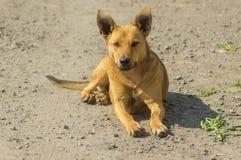 Portret pełen wdzięku przybłąkany kobieta psa lying on the beach na ziemi Fotografia Royalty Free