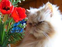 Portret Perskiego kota dorosły źrebię z kwiatami obrazy stock