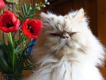 Portret Perskiego kota dorosły źrebię z kwiatami fotografia royalty free