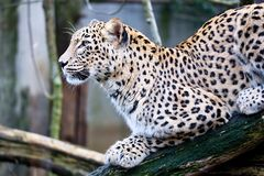 Portret Perzische luipaard, Panthera-de zitting van pardussaxicolor op een tak Stock Afbeelding
