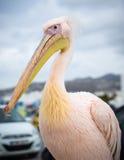 Portret Petros pelikan Mykonos, Grecja Zdjęcia Stock