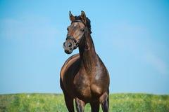 Portret piękny brązu sporta koń na wolności w ruchu na nieba tle Frontowy widok zdjęcia royalty free