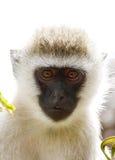 Portret piękna afrykanina Vervet małpa Zdjęcie Stock