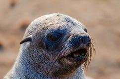 Portret piękni południe - afrykańska futerkowej foki foki na wolności kolonia, przylądka krzyż, Namibia, afryka poludniowa Obrazy Stock