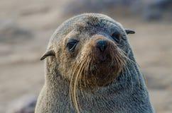 Portret piękni południe - afrykańska futerkowej foki foki na wolności kolonia, przylądka krzyż, Namibia, afryka poludniowa Zdjęcie Stock