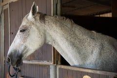 Portret piękni potomstwa siwieje konia w stajenki pudełku fotografia stock