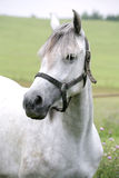 Portret piękny arabski koń Obrazy Stock