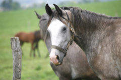 Portret piękny arabski koń Obraz Royalty Free