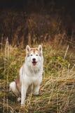 Portret piękny, bezpłatny siberian husky pies z brązem i przygląda się obsiadanie w więdnącej trawie na plaży wewnątrz obrazy stock