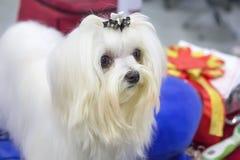 Portret piękny biały Bichon pies obraz stock