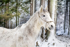 Portret piękny biały koń w zimy górze Obraz Stock