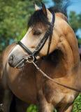 Portret piękny buckskin Welsh konik Fotografia Royalty Free