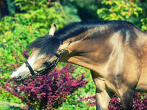 Portret piękny buckskin Welsh konik Fotografia Stock