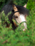 Portret piękny buckskin Welsh konik wokoło krzaka Zdjęcia Royalty Free